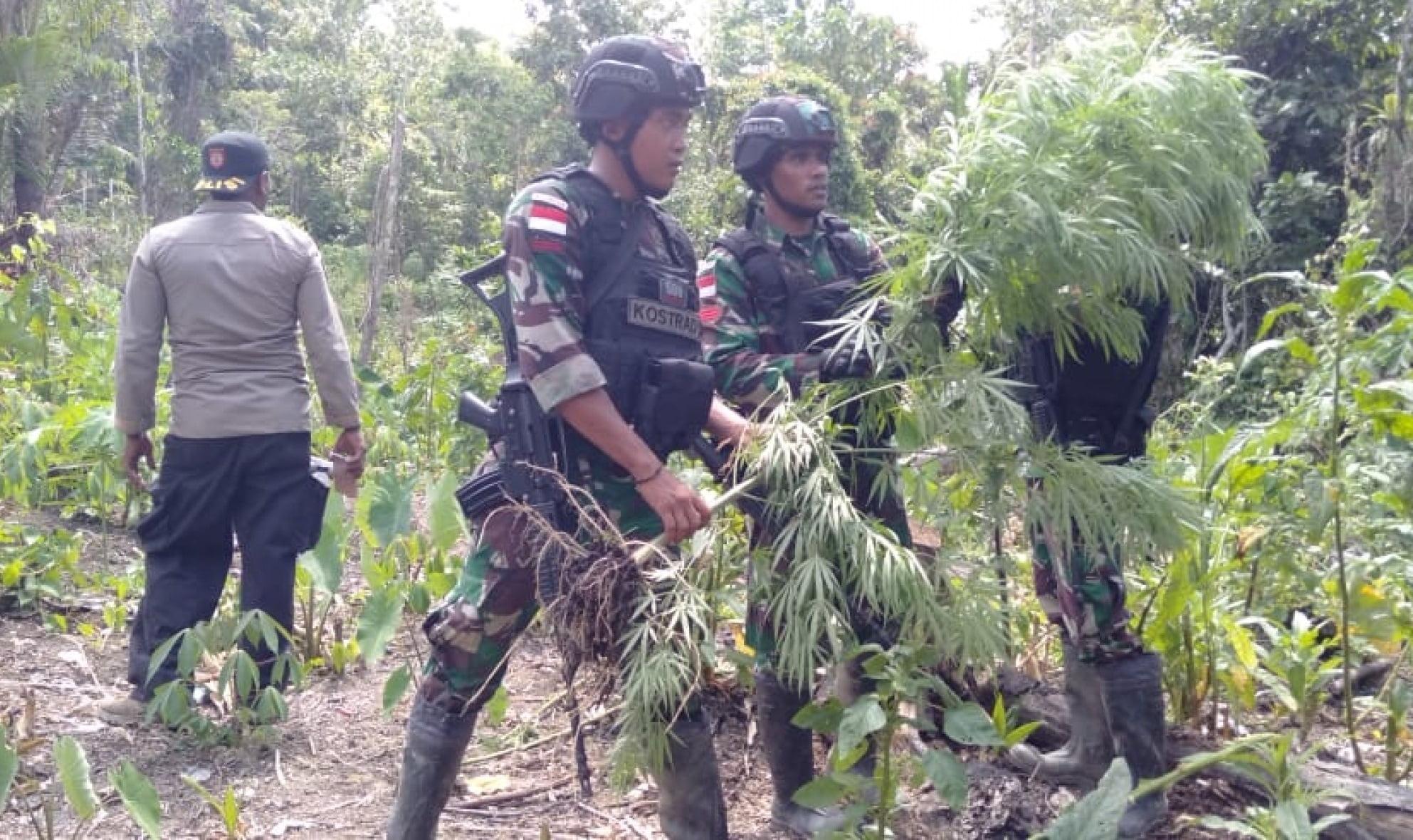 Satgas Yonif Raider 509 Kostrad, Temukan Kebun Ganja di Perbatasan RI-PNG 113