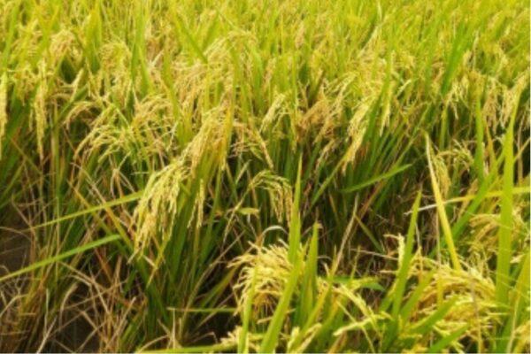 Panen Raya, Pemerintah Terus Lakukan Gerakan Serap Gabah Petani 113